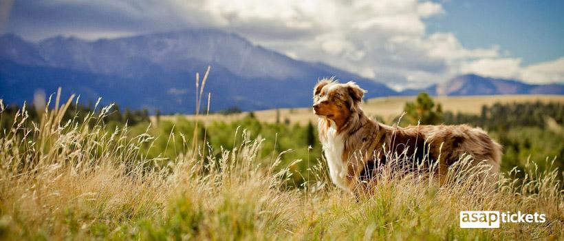 Dog outside in an open field - ASAPtickets Travel Guide | Pet Quarantine Australia
