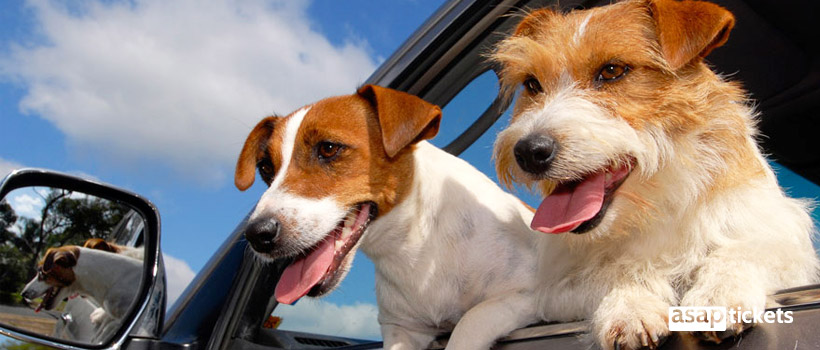 Two dogs, Jack Russell Terriers in a car - ASAPtickets Travel Guide | Pet Quarantine Australia