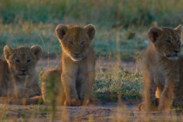 Baby lions in safari, savannha, ASAPtickets support Paolo D'Odorico's Environmental Research in Africa - ASAPtickets travel blog