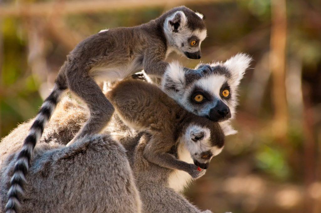 Lemurs are sacred animals in Madagascar - Travel to Madagascar