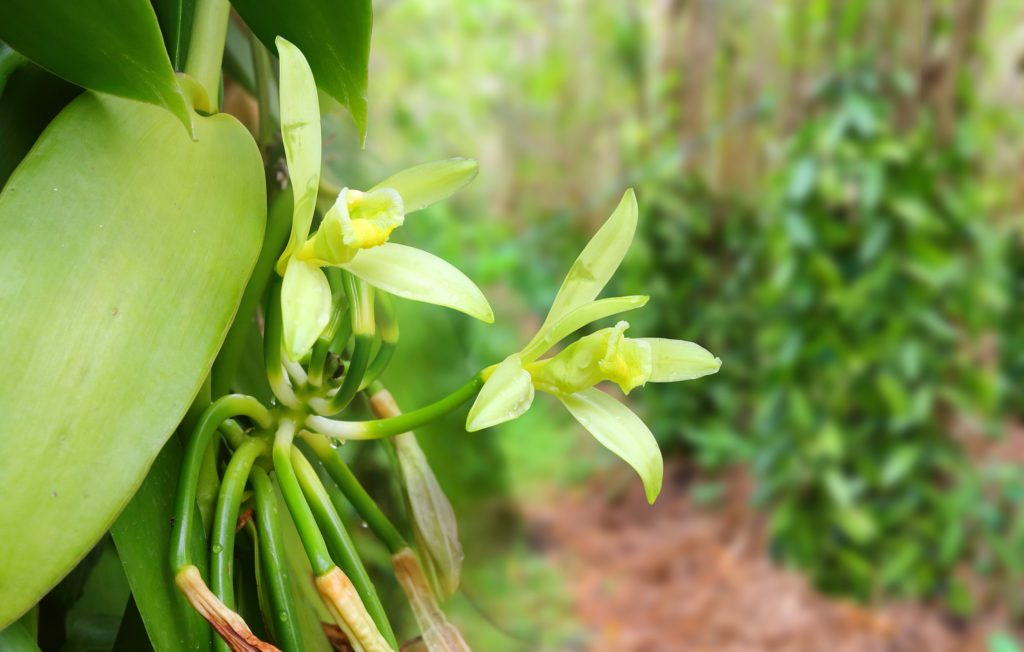 Madagascar is the world's primary producer of vanilla - Travel to Madagascar